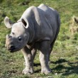 Baby White Rhino — Stock Photo