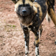 African Hunting Dog — Stock Photo