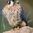 Stock Photo: AmericKestrel