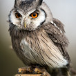 white faced scops owl — Stock Photo