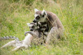 Baby lemurs — Stock Photo