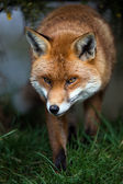 Stalking Fox — Stock Photo