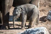 Babyolifant — Stockfoto