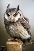 White Faced Scops Owl — Stock Photo