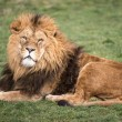 Male lion — Stock Photo #32079855