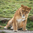 Lioness sitting on rock — Stock Photo #32079975