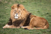 Male lion — Stock Photo