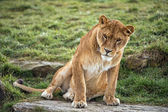 Lioness sitting on rock — Stock Photo