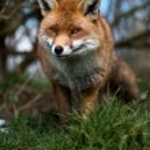 Stalking Fox — Stock Photo #32080533