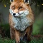 Fox stood in grass — Stock Photo