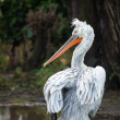 Dalmatian pelican — Stock Photo