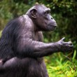 Chimpanzee — Stock Photo #32083967
