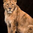 Muddy lioness — Stock Photo #32083997