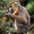 Male mandrill — Stock Photo