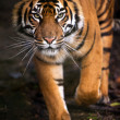 Sumatran tiger — Stock Photo #32084501