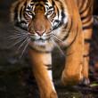 Tigre de Sumatra — Photo