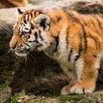 Sumatran tiger cub — Stock Photo #32087795
