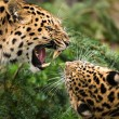 Stock Photo: Leopards against each other