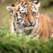 Sumatran tiger cub — Stock Photo #32088665