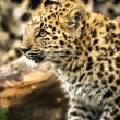 Leopard Cub — Stock Photo #32088819