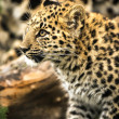 Stock Photo: Leopard Cub