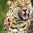 Stock Photo: Grinning adult amur leopard