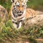 Sumatran tiger cub — Stock Photo #32089885