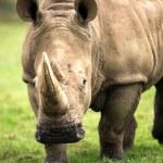 Rhino — Stock Photo #32089887