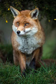Fox stood in grass — Stock Photo