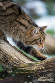 Scottish wildcat — Stock Photo
