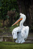 Dalmatian pelican — Stock Photo