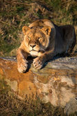 Lioness laid on a rock — Stock Photo