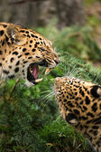 Leopards against each other — Stock Photo