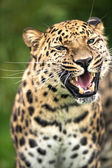 Grinning adult amur leopard — Stock Photo