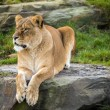 Lioness laying on rock — Stock Photo #32090801