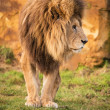 Male lion — Stock Photo #32090815