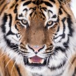 Close up of siberitiger — Stock Photo #32091069