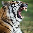 Siberitiger — Stock Photo #32093629