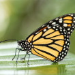 Monarch Butterfly — Foto Stock #32093661