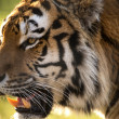 Siberitiger — Stock Photo #32094517