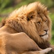 Lion in golden hour — Foto Stock