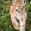 Lynx Kitten — Stock Photo