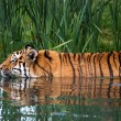 Swimming Tiger — Foto de Stock