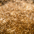 Dew on Golden Grass — Stock Photo