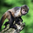 Capuchin Monkey — Stock Photo #32143477