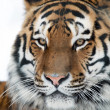 SiberiTiger — Stock Photo #32145541