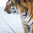 SiberiTiger — Stock Photo #32146233