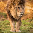 Male lion — Stock Photo #32146299