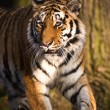 Tiger in front of a tree — Stock Photo