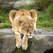 Lioness laying on a rock — Stock Photo